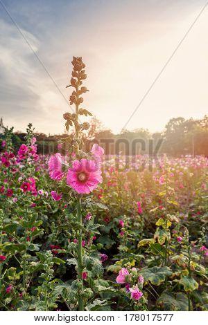 Beautiful Pink Hollyhock Flower And Sunlight In Garden