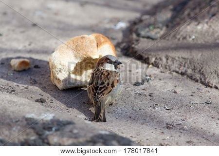 The sparrow eats a large piece of bread