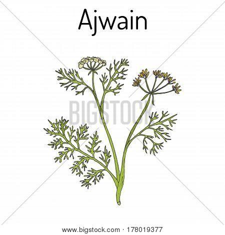 Ajwain Trachyspermum Ammi , Or Ajowan Caraway, Bishop Weed, Carom - Spice Herb