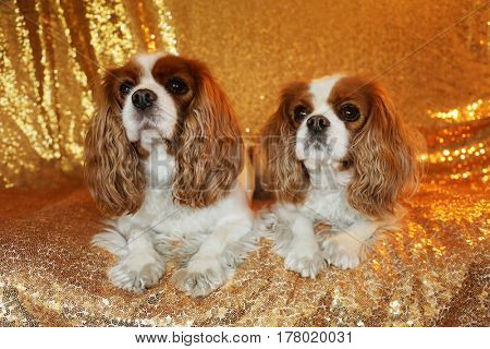 Two Beautiful King Charles Cavalier Dogs sit against a Gold Sequin Background for their fashion photo shoot.