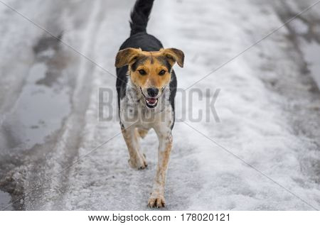 Mixed breed stray female dogs running on a country road covered with melting snow at winter day