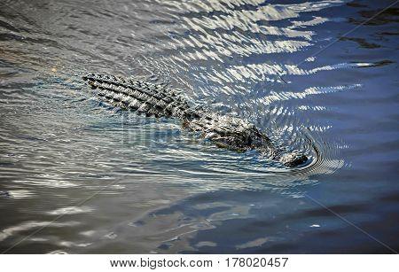 Myakka River, Florida, USA - November 29: Alligator head above the water in the Myakka River, Florida