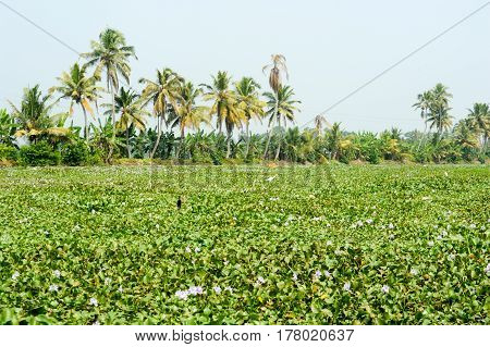 Palm Trees Taken On The Backwaters Of Kerala