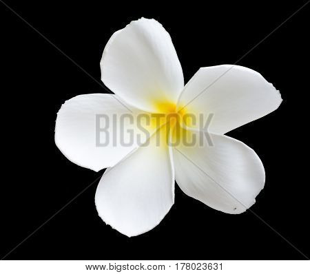 White and yellow tropical flowers Plumeria isolated on black background.