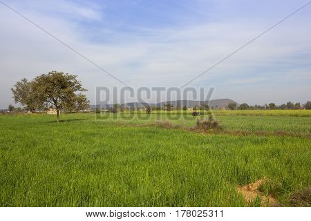 green wheat crops with acacia trees and hills in tijara rajasthan india under a blue cloudy sky