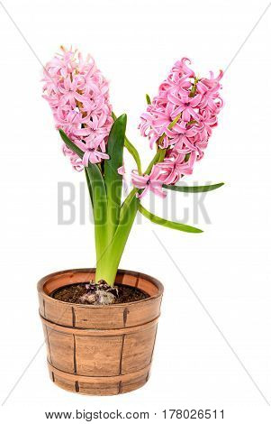 Pink Hyacinthus Orientalis Flowers In A Brown Vintage Flowerpot, Garden Hyacinth Isolated On White B