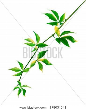 Green Branch Of Grapes Leaves