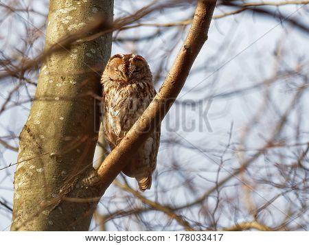 Tawny Owl  on a branch ( Strix Aluco  )
