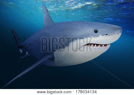 The Great White Shark - Carcharodon carcharias is a world's largest known extant predatory fish. Underwater picture of big fish in a deep sea.