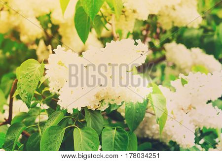 Lilac blooming tree with white blooming flowers and green leaves close up, retro toned