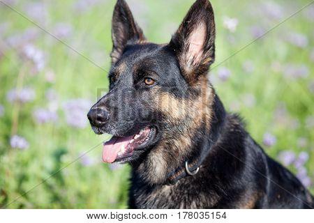 dog German Shepherd sit in purple flower field portrait