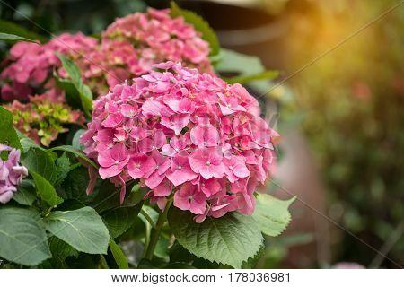 pink hydrangea flower blossom