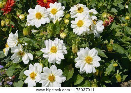 Dahlia Dahlietta Series white flowers in summer