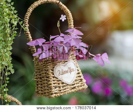 Purple Shamrock with basket in the Garden