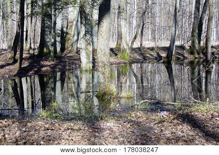 Springtime alder bog stand with standing water.