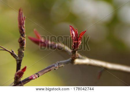 Vernal bud on twig flowered soon, macro