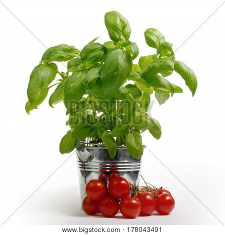Green fresh basil in metal bucket with tomatoes