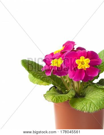 Pink Primula flower in flowerpot on white background