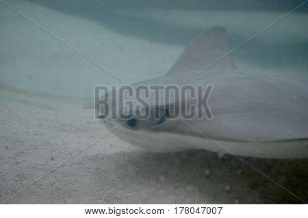 Stingray swimming along the sandy ocean floor.