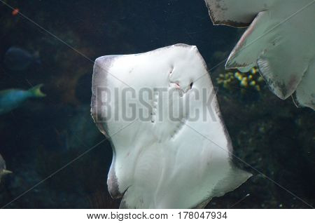 White underside of a stingray that shows his face off.