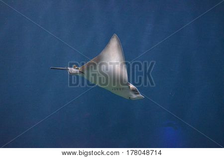 Amazing stingray with a short tail gliding in the blue ocean waters.