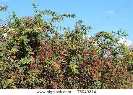 Rosehip Berries On The Bush