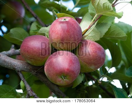 Organic red apples on branch with leaves