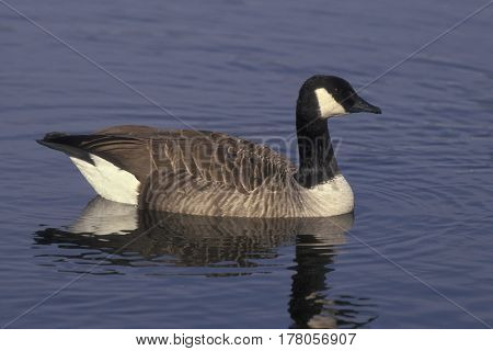 A Canada Goose, Branta canadensis swimming on a blue lake
