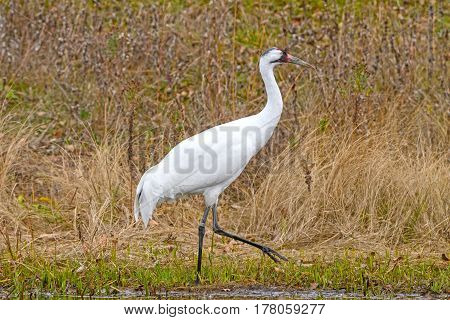 Whooping Crane by a Wetland Pond at the International Crane Foundation near Baraboo Wisconsin