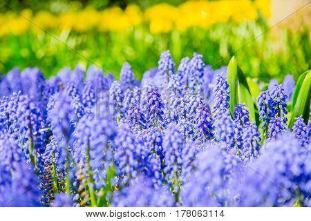 Amazing stream of blooming blue muscari flowers in the famous park Keukenhof Netherlands. Muscari flowers in Keukenhof. Keukenhof park in Netherlands. Blue Grape Hyacinth Muscari flower.