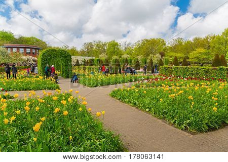 Lisse Netherlands - May 7 2016: Flower bed of colourful tulips in spring. Colorful tulips in the Keukenhof garden Holland Netherlands. Fresh blooming tulips in the spring garden. Tulip Flower Field.
