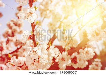 Cherry Blossom In Spring Sunny Day. Natural Background