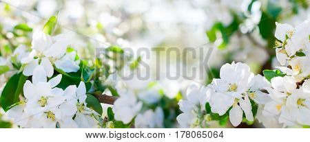 Beautiful Apple Tree Blossom Banner Web Design