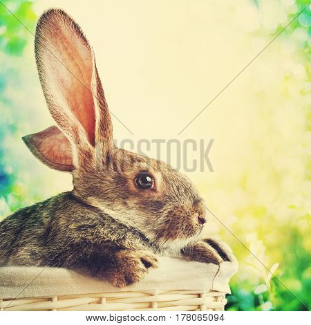 Grey Rabbit In White Basket On Easter Background. Toned