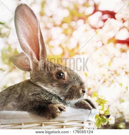 Easter Grey Rabbit In White Basket On Spring Background