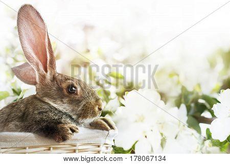 Grey Rabbit Basket Blossoming Easter Background