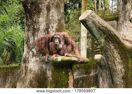 Portrait female orangutan with sad look pose .