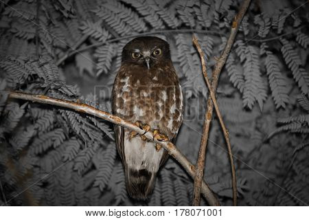 closeup of Brown Hawk owl from Thailand