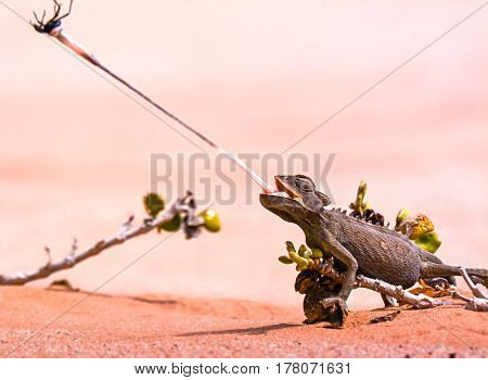 Desert chameleon capturing a beetle in the Namibian desert