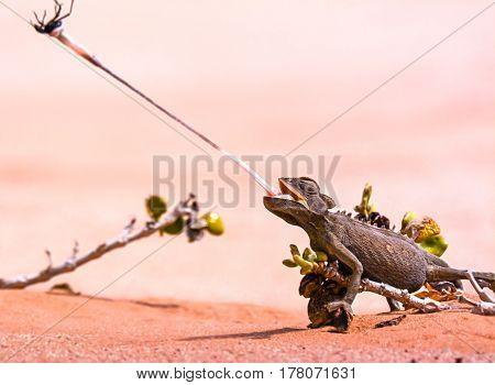 Desert chameleon capturing a beetle in the Namibian desert