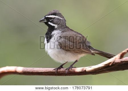 Black-throated Sparrow (Amphispiza bilineata) on a branch