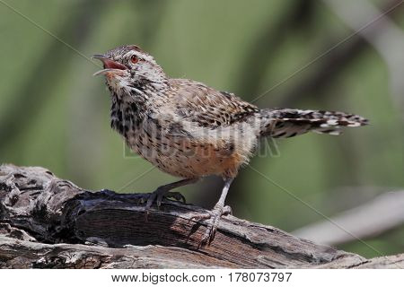 Cactus Wren (Campylorhynchus brunneicapillus) singing in the Arizona Desert