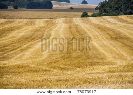 cornfield in summer