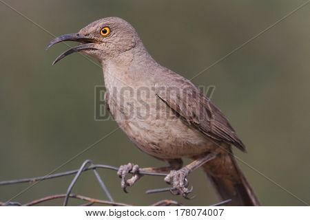 Curve-billed Thrasher (Toxostoma curvirostre) perched on a fence