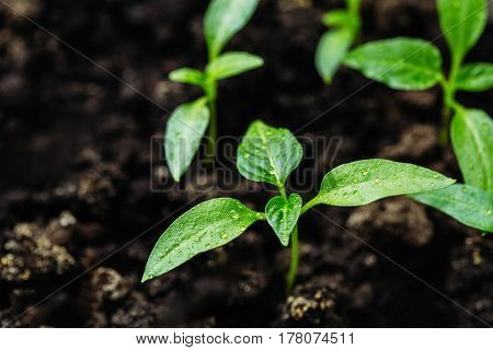 Seedlings of pepper in greenhouses for seedlings