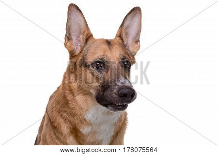 Portrait of growling german shepherd on white background