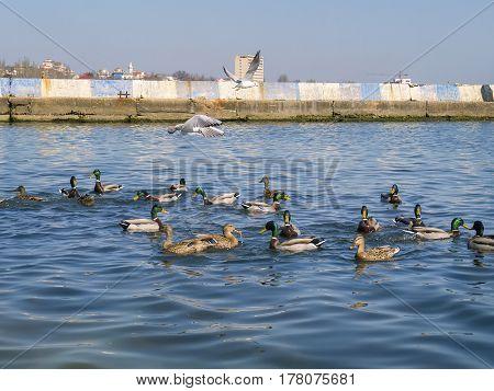 The beautiful ducks and seagulls on Black sea