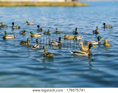 The cute ducks and seagulls on the Black sea
