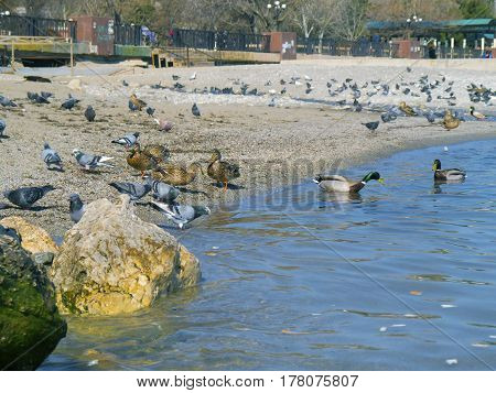 The beautiful ducks seagulls pigeons on the sea
