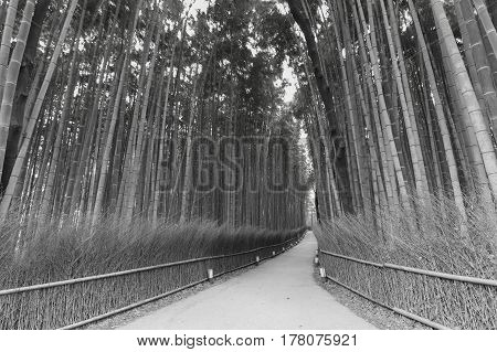 Black and White Bamboo grove and walking way in Arashiyama Kyoto Japan natural landscape background